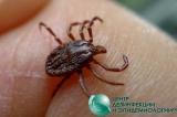 Клещ является переносчиком сразу двух опасных для человека инфекций: болезни Лайма и клещевого энцефалита.